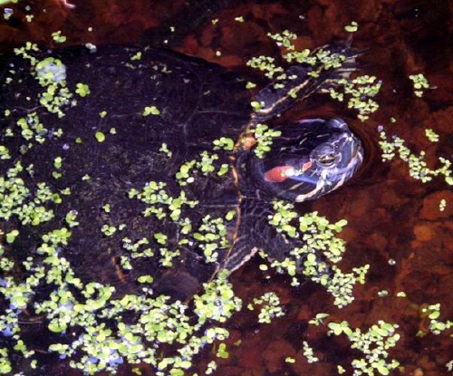 Les tortues - Bassin tortue floride strasbourg ...
